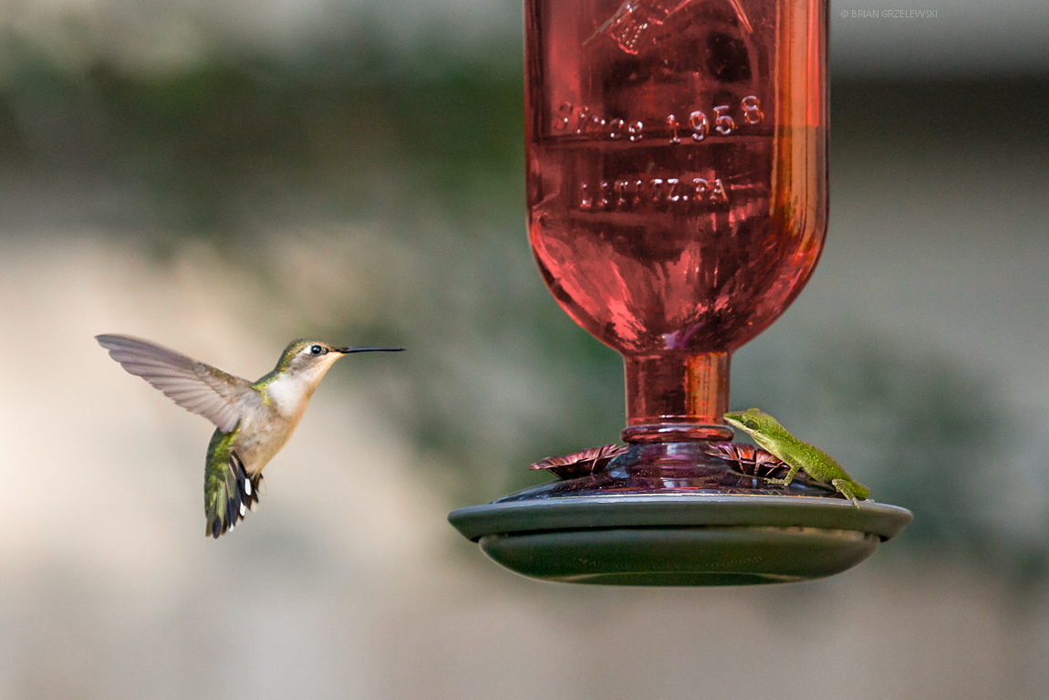 Hummingbird-vs-Chameleon